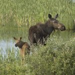 """The """" Moose are loose """" in Estes Valley"""