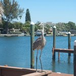 Great Blue heron hanging out at the Bay property