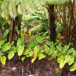 Well manicured property and the local antheriums and Hapu'u Ferns that surround the property.