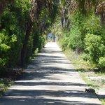 Egmont Key tortoise crossing