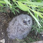 Owl chick right behind the house