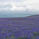 View from Skomer Island over the bluebells