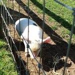 gloucester spot piglet