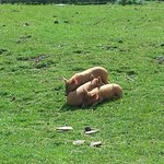 tamworth piglets aww