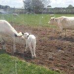 British White cattle