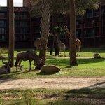 girafe nel parco