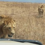 up close to lions