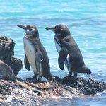 Pinguins de Galápagos ~ Foto: Edson Cunha