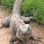 The iguanas are EVERYWHERE.
