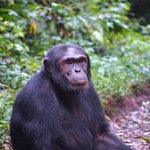 On the Chimpanzee Habituation Experience at Kibale National Forest, Uganda.
