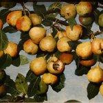 J. Decker: Ripening Pears