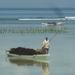 Cultivateur d'algues revenant de son champ maritime