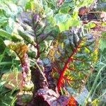 Fresh Chard growing in the Organic Gardens.