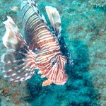 Firefish in Ponta
