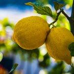 L'albero di limoni del residence