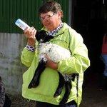 Feeding a lamb at the Killary Sheep Farm