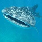 Whaleschark in front
