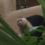 white faced monkey on the property