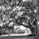 Beautiful Live Oak Trees
