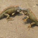 Hello iguanas!