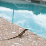 Gecko by the pool