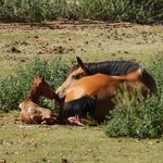 Baby colt born before our horseback trip
