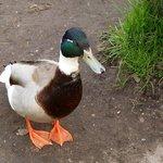Ducks wander around