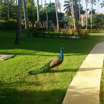 Красавец павлин гуляет по территории