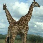Early morning giraffe