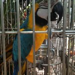 Batman, the macaw.