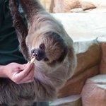 End of day show with our buddy the sloth