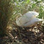 White Swan Nesting