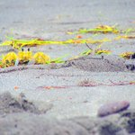 Yellow crabs on the beach. They're terrified of people and won't bother you. Fun to watch.