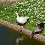 oie et canard