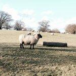 make way for sheep
