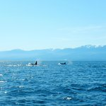 Killer whales with Olympic mountain range in background