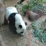 Don't get to see Pandas very often.