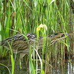 Bittern in the reeds by the Island Hide.