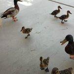 Our ducks..so cute