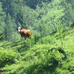 Gstaad Cow