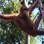 playful Orangs