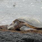 big O turtle