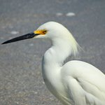 Snowy Egret looking for fish