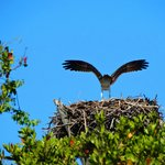 Osprey on beach nest