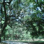 Mighty Trees and Spanish Moss