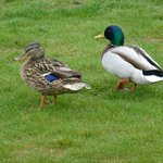 Cute ducks.