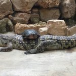 Une Tortue sur le dos d'un Alligator.