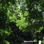 大きな常緑樹に囲まれながら紅葉の若葉がきれいに自己主張しています