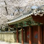 Daerungwon with cherry blossoms