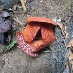 La rafflesia pendant la visite